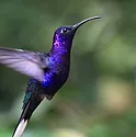A purple humming bird in flight